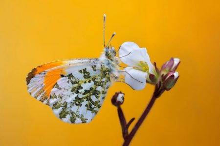 Orange-tip Butterfly by Calvin Taylor Lee
