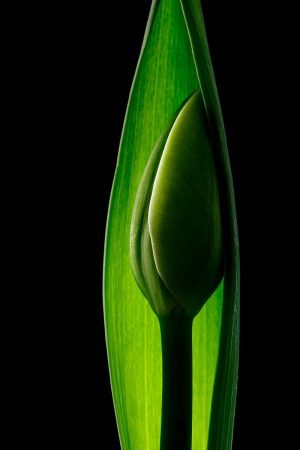 Tulip Bud by Claire Carter