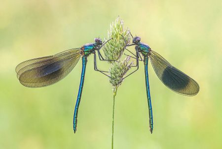Banded Demoiselles by Tony North